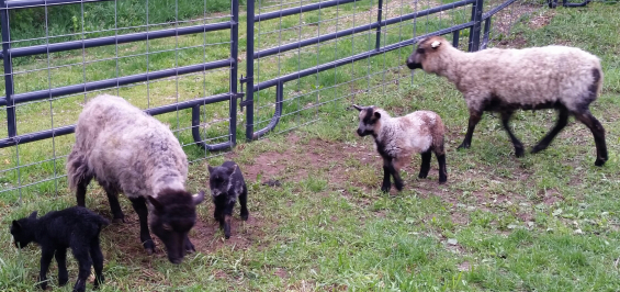 My three lambs - Spring 2017