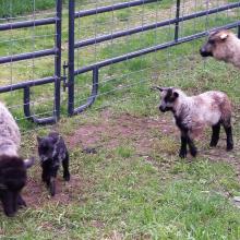 lambs2017.jpg