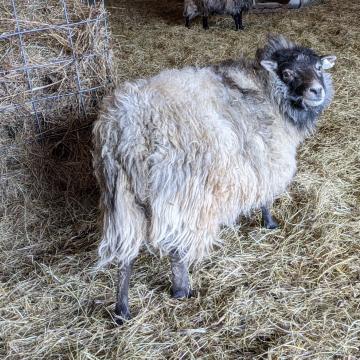 """Shetland - """"Aster"""" roving"""