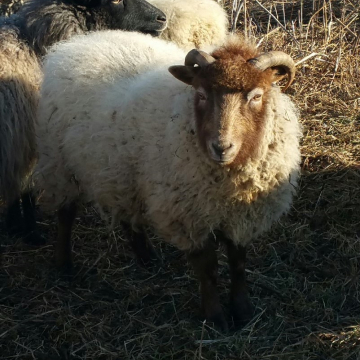 """Boe"" - raw fleece (100% Shetland)"