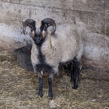 """""""Jack"""" - raw fleece (100% Shetland)"""