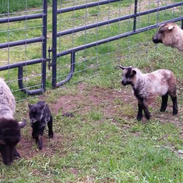 My three lambs - Spring 2017
