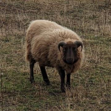 """""""Ursa""""- raw fleece (100% Shetland)"""